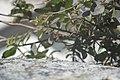 Capparis spinosa-2109.jpg