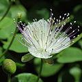 Capparis spinosa-IMG 3417.jpg