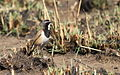 Capped Wheatear, Oenanthe pileata at Suikerbosrand Nature Reserve, Gauteng, South Africa (15182261062).jpg
