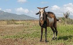 Capra aegagrus hircus in isla Margarita.jpg