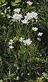 Cardamine pratensis řeřišnice luční 2.jpg