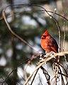Cardinal (2275598113).jpg