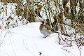 Carduelis carduelis winter.jpg