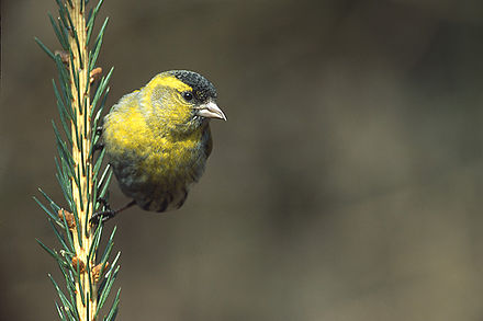 A siskin, unafraid to sing to his comrades about the stormy petrel Carduelis spinus 1 tom (Marek Szczepanek).jpg