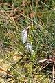 Carex demissa inflorescens (19).jpg