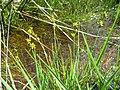 Carex echinata inflorescens (17).jpg