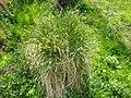 Carex paniculata plant (14).jpg