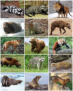 Ferae A clade of mammals consisting of Carnivores and Pholidotes