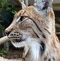 Carpathian Lynx 1 (35853652151).jpg
