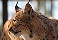 Carpathian Lynx 4a (16714247491).jpg