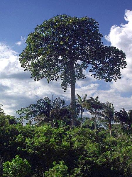 Castanheira nas redondezas de Marabá
