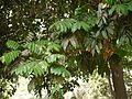 Castanospermum australe (4592057542).jpg