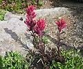 Castilleja parviflora var. oreopola.jpg