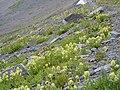 Castilleja sulphurea (8214461973).jpg
