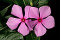 Catharanthus roseus 1DS-II 4-6461.jpg