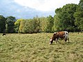 Cattle at Canley Ford - geograph.org.uk - 1525847.jpg