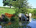 Cattle by the Oxford Canal, Newbold on Avon, Warwickshire - geograph.org.uk - 988927.jpg