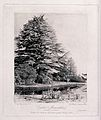 Cedar trees (Cedrus species) in a garden in Monmouthshire. P Wellcome V0043110.jpg