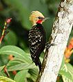 Celeus flavescens - Blond-crested Woodpecker (male).JPG