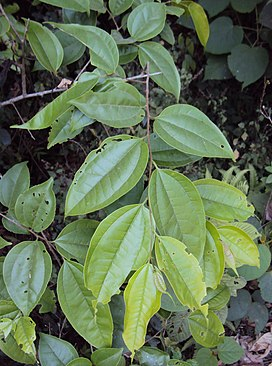 Celtis timorensis leaves.jpg