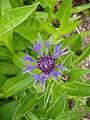 Centaurea montana 2.jpg