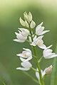 Cephalanthera longifolia - identifiée7.jpg
