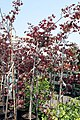 Cercis canadensis Forest Pansy 19zz.jpg