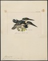 Ceryle americana - 1820-1863 - Print - Iconographia Zoologica - Special Collections University of Amsterdam - UBA01 IZ16800273.tif
