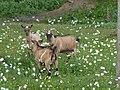 Chèvres naines du moulin de Carmenais 01.jpg