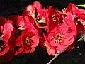 Chaenomeles japonica a1.jpg