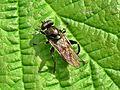 Chalcosyrphus nemorum (Syrphidae sp.), Elst (Gld), the Netherlands - 2.jpg