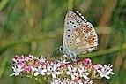 Chalkhill blue (Polyommatus coridon) male underside Macedonia 2.jpg