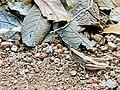 Chapulín insecto.jpg