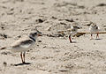 Charadrius melodus -Cape May, New Jersey, USA -parent and chicks-8 (2).jpg