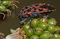 Checkerboard Ground Bug (Spilostethus saxatilis) (9737892252).jpg