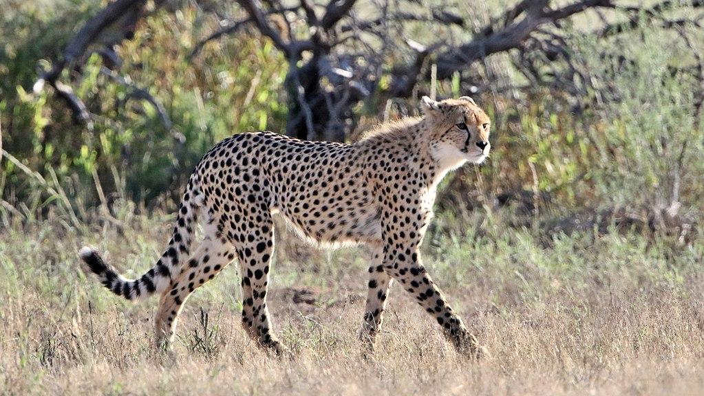 https://upload.wikimedia.org/wikipedia/commons/thumb/9/9c/Cheetah%2C_Acinonyx_jubatus%2C_at_Kgalagadi_Transfrontier_Park%2C_Northern_Cape%2C_South_Africa_%2834485904995%29.jpg/1024px-Cheetah%2C_Acinonyx_jubatus%2C_at_Kgalagadi_Transfrontier_Park%2C_Northern_Cape%2C_South_Africa_%2834485904995%29.jpg