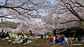 Cherry blossoms(Sakura)2011 - panoramio.jpg