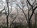 Cherry blossoms in Sasayama Park 5.jpg
