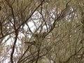File:Chestnut-crowned Babbler eulo95.ogv