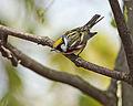 Chestnut-sided Warbler (14074089174).jpg