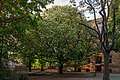 Chestnut in flower, Berlin (20150514-DSC05266).jpg