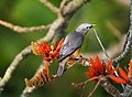 Chestnut tailed starling in brunches.jpg