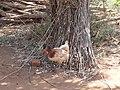 Chicken - panoramio (3).jpg