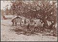 Children playing cricket at St. Barnabas, Norfolk Island, 1906 - J.W. Beattie (16431463500).jpg