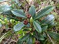 Chimaphila umbellata.jpg