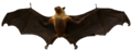 Chiroptera - Zoological Museum (Liège).png