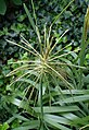 Chloris virgata kz1.jpg