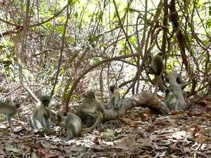 File:Chlorocebus sabaeus Video 0001.ogv