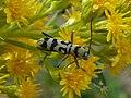 Chlorophorus varius Paludi 03.jpg