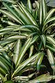 Chlorophytum capense - Alipore - Kolkata 2013-02-10 4647.JPG